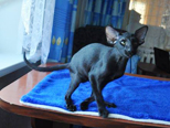 Ориентальные и сиамские кошки - питомника Кристинс. Купить сиамского котенка, купить ориентального котенка