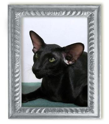 Ориентальная кошка AR*Shasa Kivuli