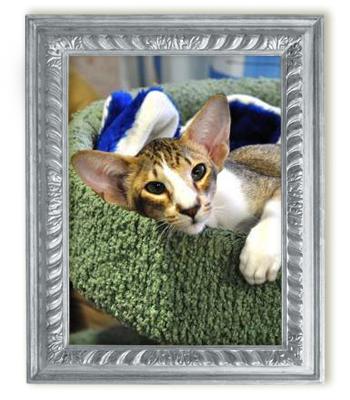 Ориентальная биколорная кошка Tajra Honey Gold Kristin's*RUS