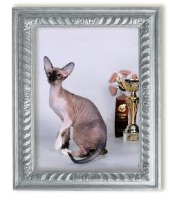 Кошка петерболд Dzhadi Queen Kristin's