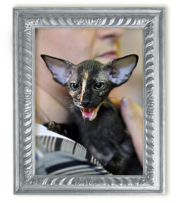 Кошка Fantaziya Kristin's*RUS