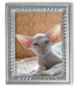 Кошка петербургский сфинкс Gaia Renovatio