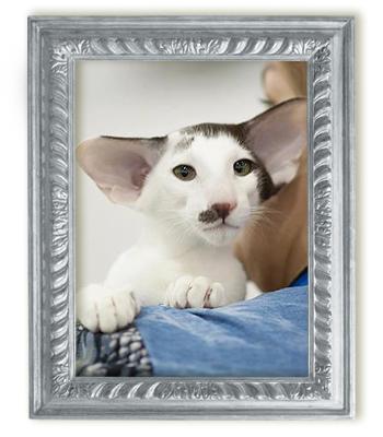 Ориентальный кот биколор Raphael Kristin's*RUS