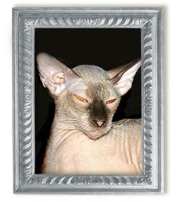 Кошка петербургский сфинкс Ch.Skin Cat Queen-уехала