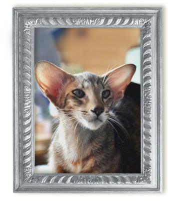 Ориентальный шоколадный пятнистый кот Shagio-chen Lolka