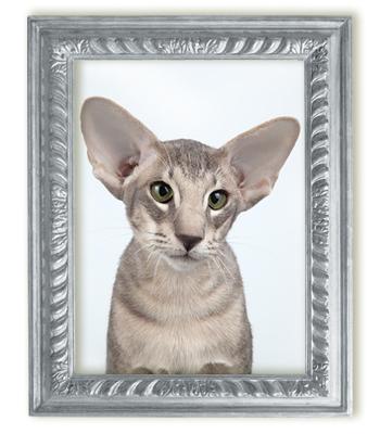 Ориентальный голубой пятнистый кот Oba-Na Surprise Kristin's*RUS
